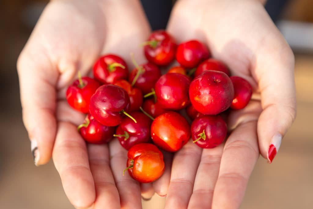 Hand voll mit Acerola-Kirschen